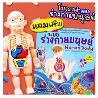 โมเดลจำลองร่างมนุษย์-Human-Body-Model